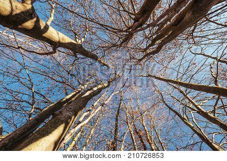 Trees crowns in blue sky deep autumn defoliation