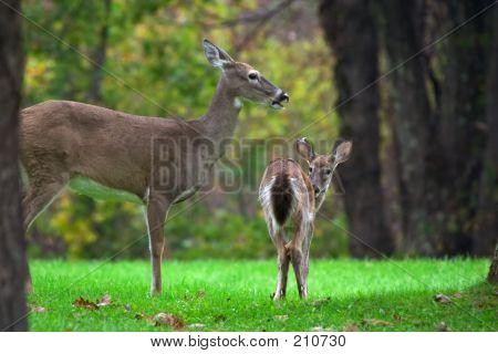 Deer's Family
