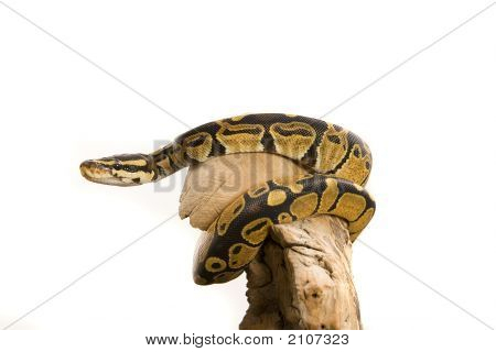 Close up photos of ball python on a branch over a white background poster
