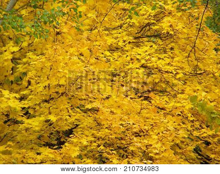 Background of autumn yellow leaves in a forest.