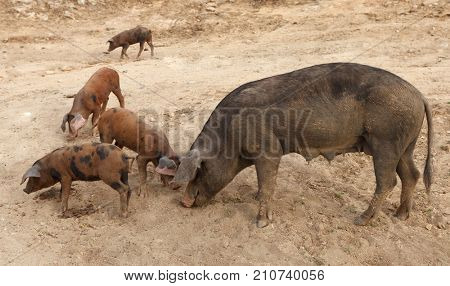 Family of Iberian Pigs in the countryside