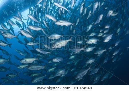 Japanese Amberjack Into Butter Fish Bait Ball In Sea Of Japan