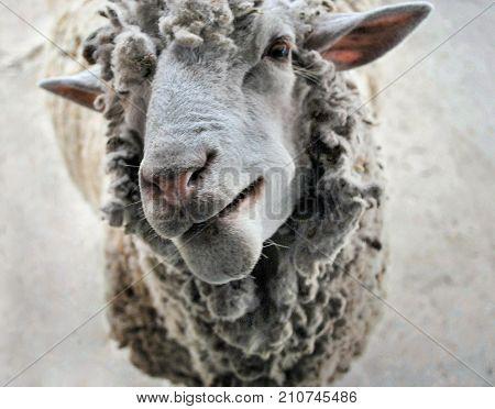 Sheep looking at the camera, sheep smiling, sheep face close-up