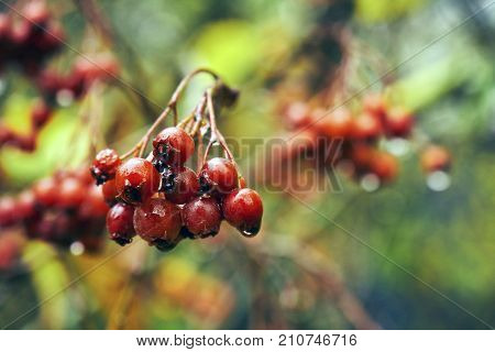 Bunch of ripe rowanberry after cold autumn rain