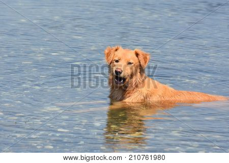 Cute scotty playing in a lake with a ball