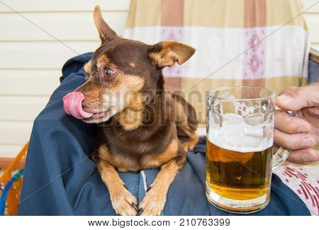 Funny Cute Dog With A Beer, Which Offers Its Owner. Humor
