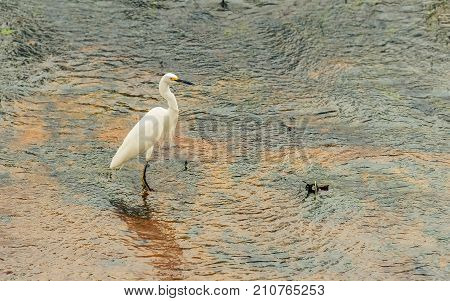 White Egret On The Water Of A Lake In Wetlands Of Pantanal In Brazil.