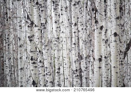 A Personal Perspective If You Get Lost In A Birch Forest
