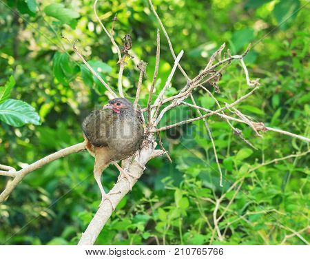 Ortalis Guttata Bird, Known As Aracua-pintado In Brazil