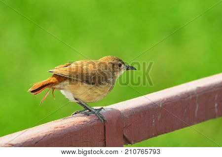 Joao-de-barro Bird Over A Fence With A Beautiful Green Blurred Background