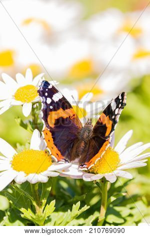 Nice Dark Butterfly With Orange And White Spots On Wings