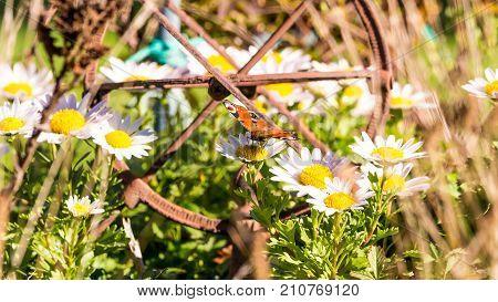 Nice Orange Butterfly Perched On Ox-eye Daisy Flower