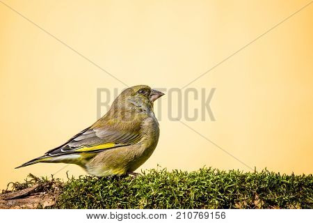 One Male Greenfinch Bird Sits On Branch Covered By Moss
