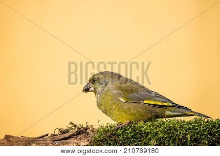 Single Male Greenfinch Bird Sits On Branch Covered By Moss And Eats Seed