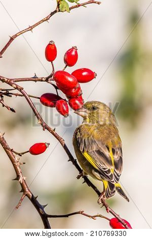 Young Green-finch Bird Perched On Twigs Of Rose Hip With Thorns