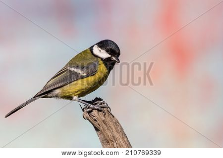 Young Male Blue-tit Avian Sitting On Dry Twig