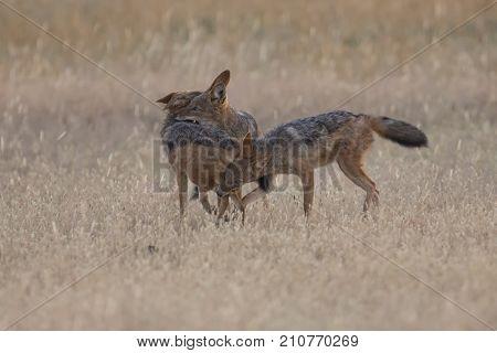 Three Black Backed Jackals playing in the Kalahari on a plain