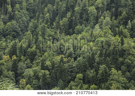 Coniferous green trees in the forest on mountainside. Concept of an ecosystem and a healthy environment. Neighborhood of Lake Riza. Texture of coniferous forest for background