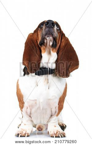 seated basset hound is looking up to something on white background