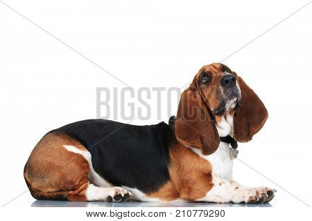 curious basset hound lying down on white background