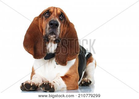 cute basset hound lying down on whit ebackground