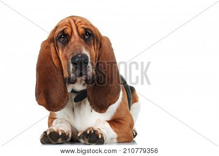 cute basset hound lying down on white background