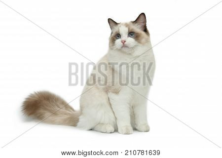 Cute cat rag doll sits on a white background. A cat with blue eyes.