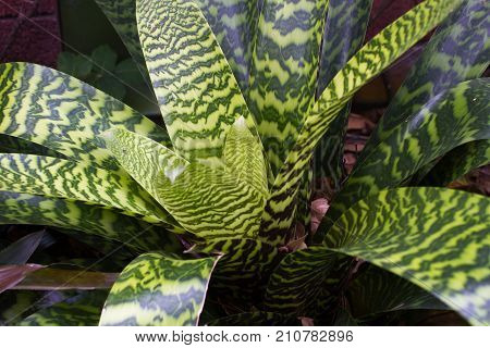 Close photo of Bromelia plants and ficus. Anchient plant. Macro Bromeliaceae, green and burgundy leaves with water