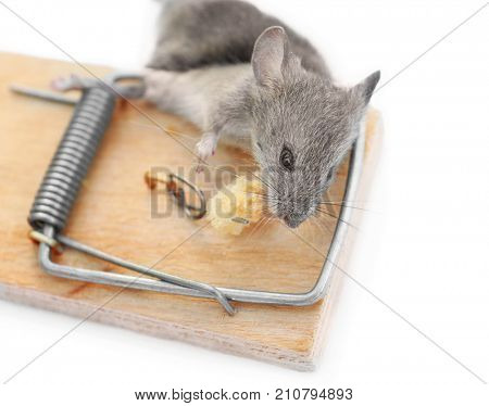 Dead mouse caught in trap on white background poster