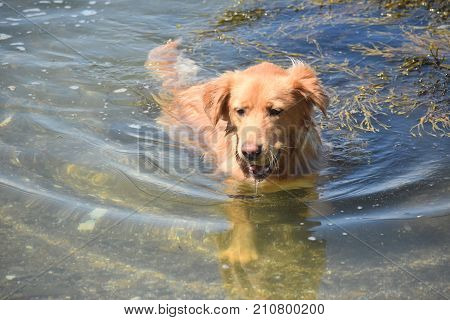 Scotty dog running out of the water with a ball