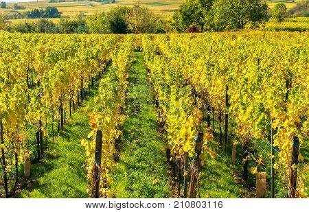 Autumn vineyards in Haut-Rhin - Grand Est, France