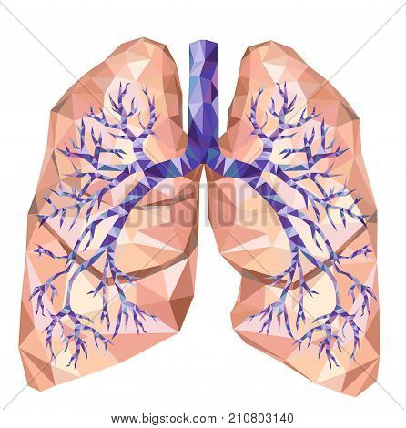 Realistic human lungs with trachea bronchus bronchi carina in low poly. Vector. Human organ.