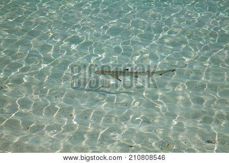 Blacktip reef shark (Carcharhinus melanopterus) in the shallow water