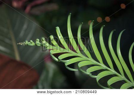 A fern frond unfurls against a blurred background.