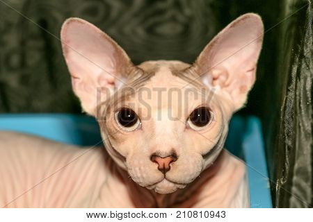 A cute pink Sphynx cat portrait close up. Nude skin bald cat cat breed Canadian hairless kitten. Fashion nude cat with pedigree.