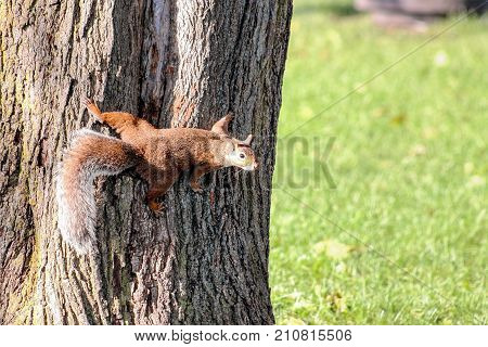 Close up of a Squirrel on a Tree with copy space