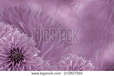 Floral light pink beautiful background of dahlias. Flower composition. Background of pink dahlias. Nature.