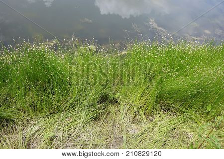 Low bulrush (Isolepis cernua), also called slender club-rush, tufted clubrush, and fiberoptic grass, grows next to a small lake in Joliet, Illinois, during June.