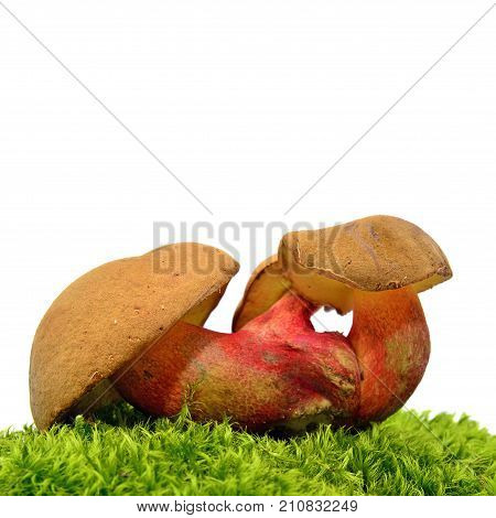 caloboletus calopus mushroom also known as the bitter beech bolete or scarlet-stemmed bolete