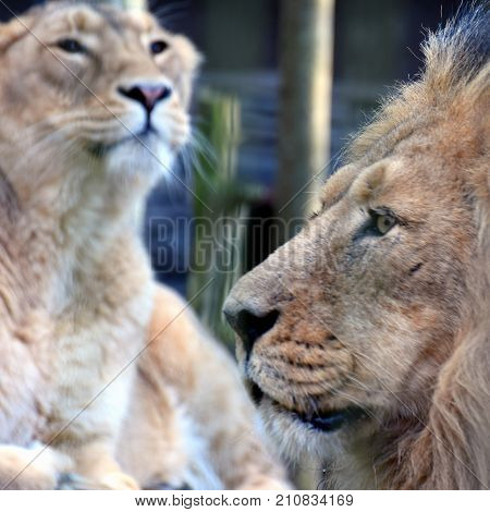 Lion and lioness. Asiatic lions portrait. Male on foreground side view and female on background. Square shape image.