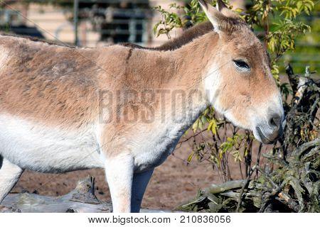 Turkmenian kulan (Equus hemionus kulan), also called Transcaspian wild ass, Turkmenistani onager or simply the kulan.