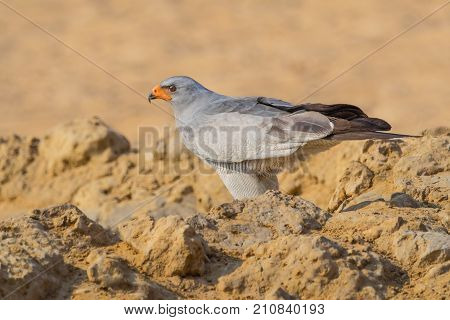 A Pale Chanting Goshawk at a waterhole in the Kgalagadi Transfrontier Park straddling South Africa and Botswana.