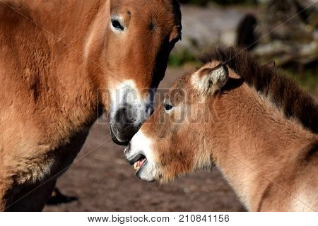 Przewalski's horses, mother mare and foal