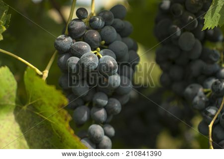 Grapes in vineyard. Autumn season. Sweet fod