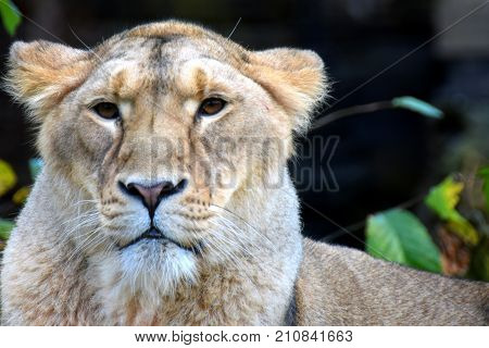 Close up of lioness. Asian female lion.