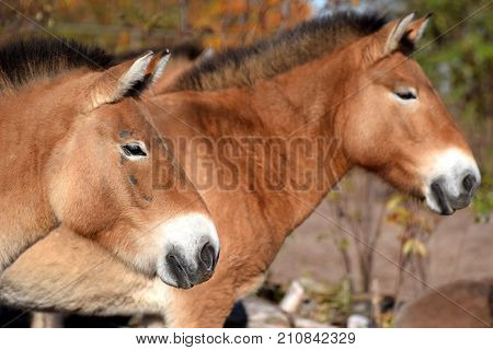 Przewalski's horses side view. Also know as Mongolian wild horse.