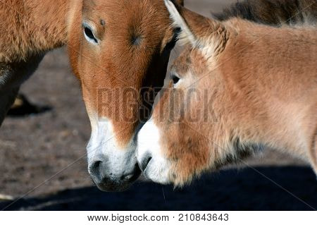Mongolian wild horses, mother mare and foal. Also known as Przewalski's or Dzungarian horse, is a rare and endangered subspecies of wild horse.