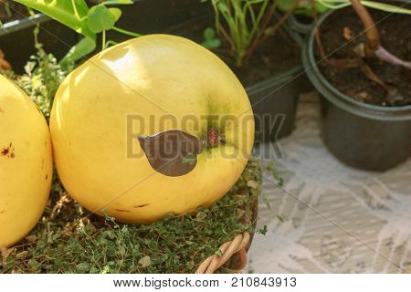 Ripe and delicious quince - yellow fruit. Quince is standing on green grass