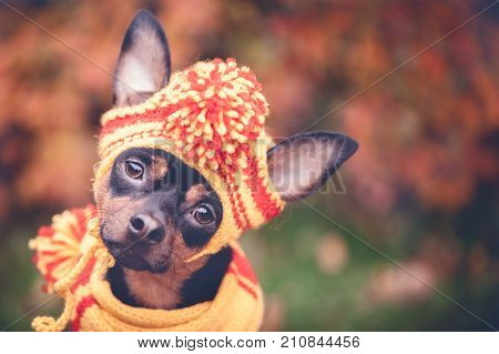 Beautiful dog, a puppy in a yellow scarf with pampons sitting on a background of autumn foliage. Space for text. Lovely, funny puppy