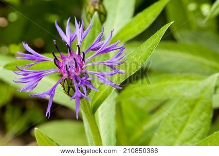 Close up of purple blossom of centaurea montana mountain cornflower with natural green background with copyspace. Selective focus. Shallow depth of field.